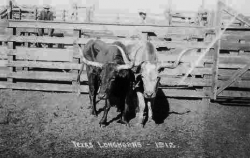 1912 Post Card of Long Horns
